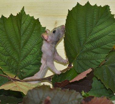 Rat, Color Rat, Ill, Mites, Felllos, Rodent, Animal