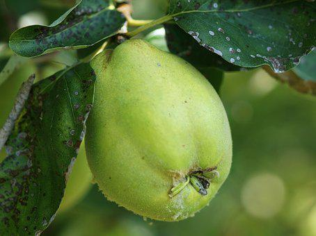Autumn Fruit, Quince, Green, Fruit, Immature, Fluffy