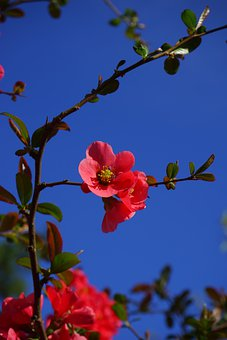 Blossom, Bloom, Red, Japanese Ornamental Quince