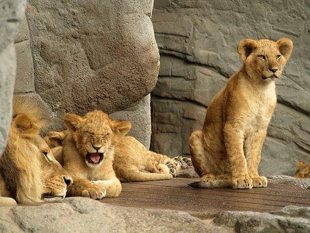 Lion, Predator, Cat, Zoo, Young, King, Prince, Yawn