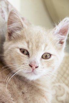 Cat, Kitten, Cute, Pet, Animal, Fur, Red, White