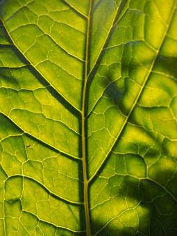 Leaf, Back Light, Translucent, Leaf Veins, Green, Large