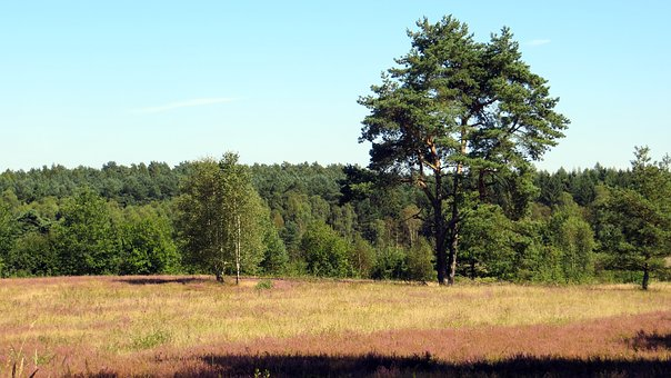 Lüneburg Heath, Heide, Heather Blossoms, Plant