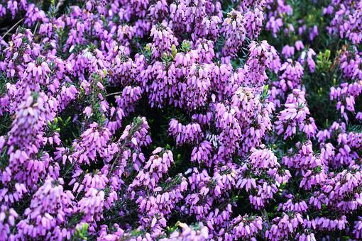 Heather, Garden, Spring, Skalnik, Macro, Flourishing
