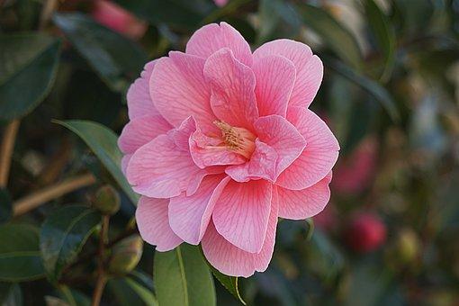 Flower, Flora, Japan Quince, Nature, Plant, Petal