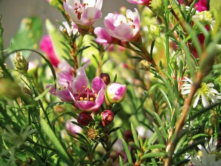 Heather, Heide, Ericaceae, Heathland, Nature, Purple
