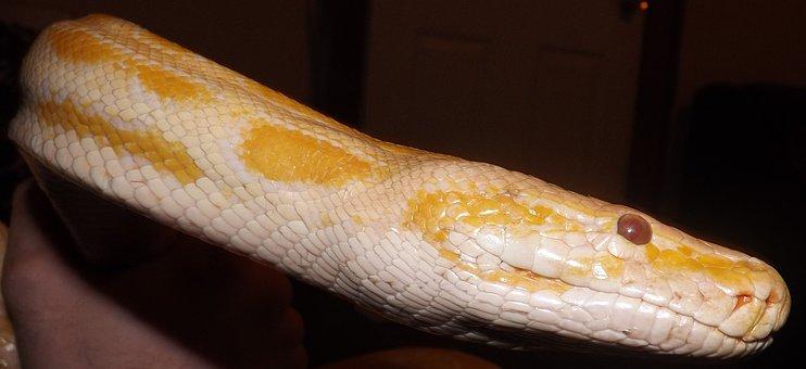 Snake, Python, Reptile, Animal, Nature, Wildlife