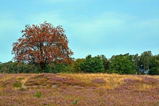 Heide, Nature, Heather, Lüneburg Heath, Nature Reserve