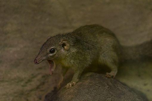 Common Treeshrew, Cute, Zoo, Yawn, Rodent, Nature