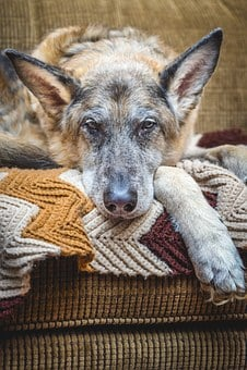 Dog, German Shepherd, Canine, Old, Resting, Animal, Pet