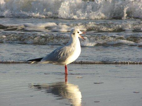 Seagull, Beach, Water, Wave, Laugh, Bill, Open