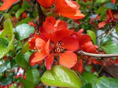 Quince Flower, Garden Shrub, Orange, Ornamental Shrub