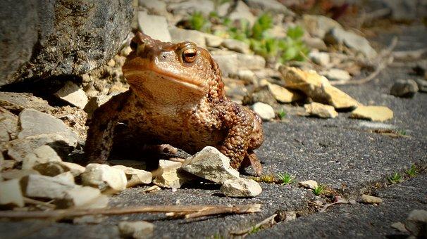 Toad, Frog, Urmonster, Anuran, Pairing, Animals