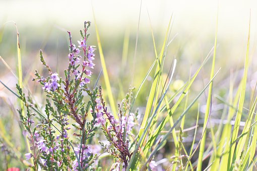 Heather, Flower, Plant, Nature, Close Up, Flowers
