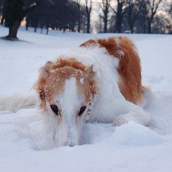Dog, Borzoi, Hound, Winter, Snow, Playing