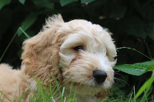 Cockapoo, Puppy, Dog, Coker Spaniel, Poodle, Play