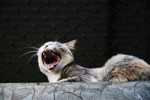 Yawn, Cat, Animal, Pet, Portrait, Domestic Cat