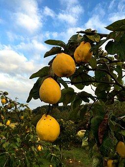 Nature, Plant, Fruits, Quince, Yellow, Autumn, Fruit