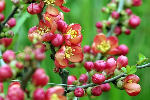Flowers, Red, Chaenomeles, Quince, Bush, Flowering