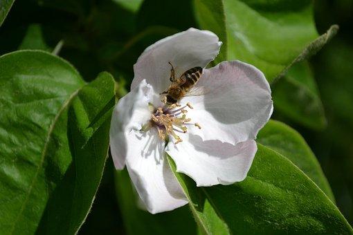 Quince Flower, Flowers, Bee, Nature, Pollen, Food