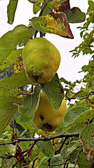 Quince, Plant, Kernobstgewaechs, Fruit, Hairy, Branch