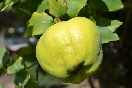 Quince, Quince Tree, Quince Leaves, Green, Green Fruit