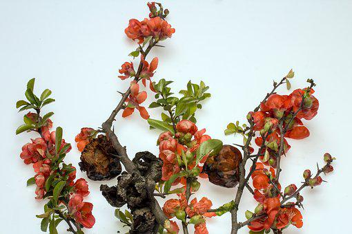 Ornamental Quince, Flowers, Red Flowers, Bush, Spring