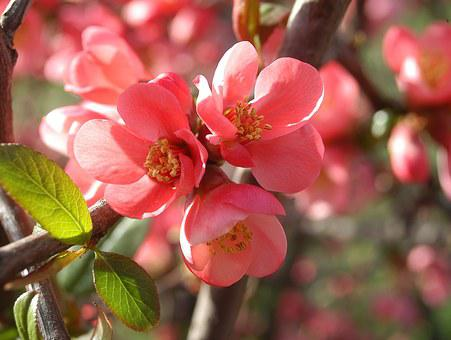 Japan Quince, Red, Triple