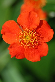 Japonica, Red, Flower, Spring, Japanese, Quince
