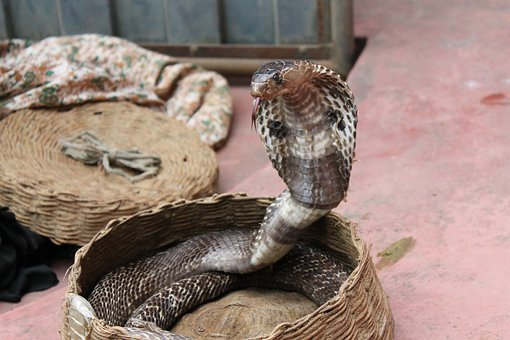 Snake Charming, Snake, Animal, Reptile, Serpent, Cobra