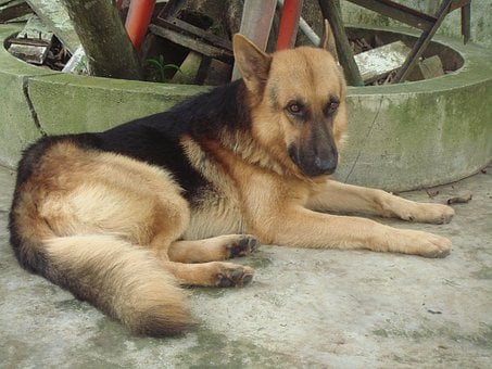 Dog, Shepherd, German, Pet, Canine, Animal, Domestic