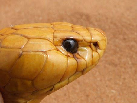 Cobra, Head, Snake, Venomous, Naja Nivea, Cape Cobra