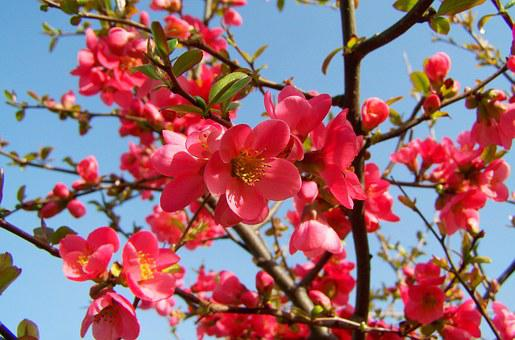 Japan Quince, Pink Flower, Spring
