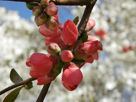 Quince, Spring, A Branch, Pink Flower, Nature, Tree