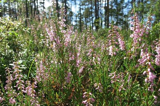 Heather, Erica, Forest, Sweden, Flowers, Summer, Nature