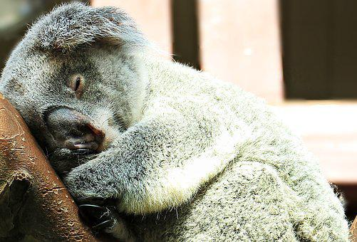 Koala, Animal, Sweet, Purry, Ashen Koala, Cuddly, Rest