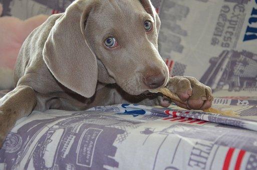 Dog, Puppy, Weimaraner, Muzzle, Animal, Tenderness