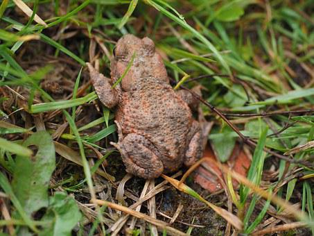 Common Toad, Toad, Bufo Bufo, Anuran, Real Toad