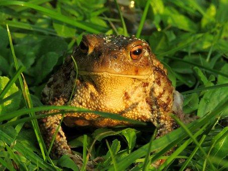 Toad, Anuran, Amphibian, Common Toad, Bufo Terrestris