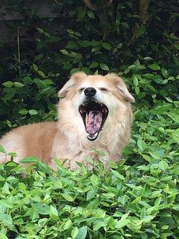 Dog, Yawn, Pet, Animal, Canine, Cute, Tongue, Face