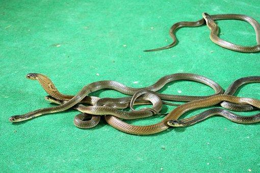 Cobras, Snakes, Tourist Animation