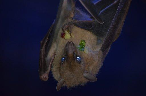 Bat, Flying Dog, Dracula, Blood Sucker, Wing