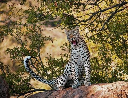Leopard, Yawn, Morning, Wildlife, Nature, Cat, Animal