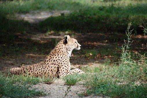 Cheetah, Yawning, Zoo