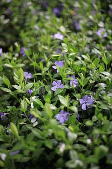 Periwinkle, Herb, Purple, Green Background, 5 Petals