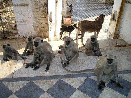 India, Ape, Ape Horde, Dog, Calf, Animals, Holy