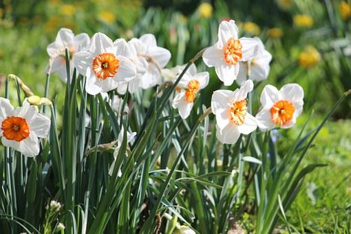 Flower, Blossom, Bloom, Narcissus, Orange, Plant, Close