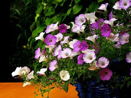 Petunia, Flower, Blossom, Bloom, Flowers
