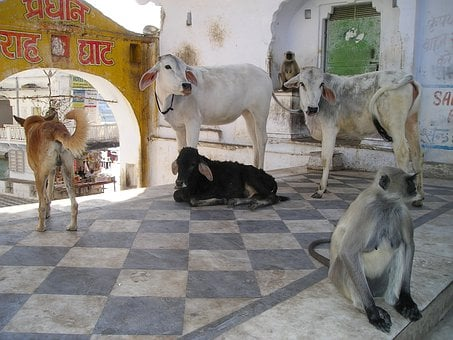 India, Monkey, Dog, Cows, Cow, Animals, Holy