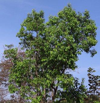 Syzigium, Cumini, Jamun Tree, Blackberry Tree, India